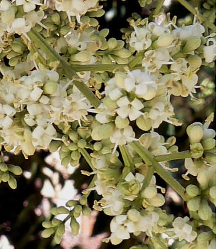 Flor del Ligustrum