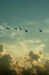 Sunrise Flight (lynne bernay-roman) Tags: sunset pelicans clouds flying intense gorgeous flock fluffy brilliant sillhouette naturesfinest golddragon infinestyle elitephotography
