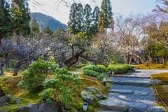 Plum Blossoms at Shozan resort (しょうざん) in Kyoto! (KyotoDreamTrips) Tags: baikasai japan japanesegardens kyoto plumblossoms shozan ume しょうざん 梅花祭