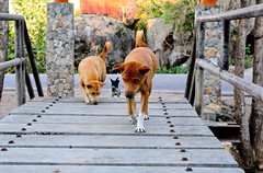 ,, Rocky, Mama, Legs ,, (Jon in Thailand) Tags: mama rocky legs bridge jungle nikon d300 nikkor 175528 eyesearsnosetailtoes swamp trees expressions paws tails nose eyes whitesox ears toes littledoglaughedstories