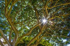Point of Understanding (James Neeley) Tags: hawaii banyantree sunburst dynamicrange jamesneeley