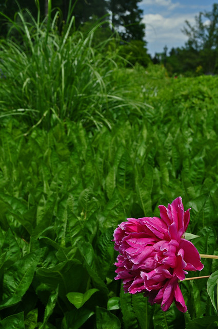 Paeonia 'Myrtle Gentry'