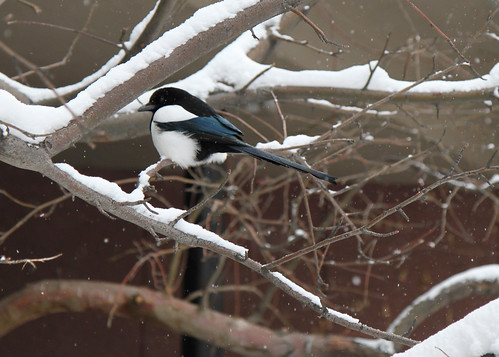 magpie in winter