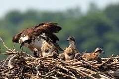 Osprey Chicks in Nest (Mr.TinDC) Tags: cute bird birds animals virginia babies nest wildlife va dcist chicks raptors osprey birdsofprey pandionhaliaetus babybirds babyanimals ospreynest bellehaven bellehavenmarina