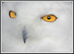 Snowy Owl (J S McTavish) Tags: nature birds wildlife canoncamera specanimal mygearandme mygearandmepremium mygearandmebronze mygearandmesilver mygearandmegold ruby5 infinitexposure