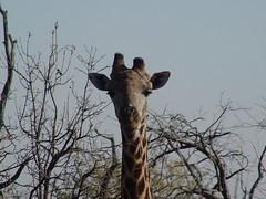 Chobe National Park - Giraffe (vanchete) Tags: southafrica town victoria falls zimbabwe cape botswana namibia himba