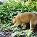 柴犬:Baby Shiba inu 柴犬