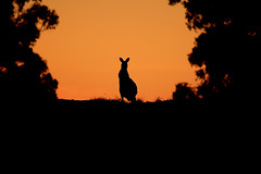 Kuitpo Kangaroo (Bugalugsrox) Tags: trees sunset orange black nature grass forest fly hill australia kangaroo eucalypt marsupial silhoutte top20australia masterclass19