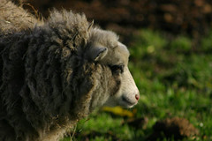 Sheep in contemplation, Deen City Farm (AllieW.) Tags: uk england london sheep soe morden naturesfinest animalkingdomelite abigfave deencityfarm impressedbeauty wonderfulworldmix goldstaraward