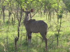 IMG_0245 (michaeldgbailey) Tags: southafrica safari krugernationalpark bigfive