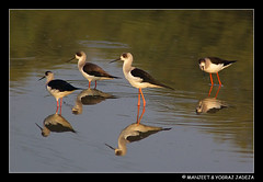 stilts (wildlens) Tags: india reflection bird water indian  stilts wader blackwinged jadeja 70300g manjeet aplusphoto excapture yograj manjeetyograjjadeja