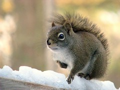My fee for posing is Sunflower Seeds! (Nancy Rose) Tags: winter wild snow animal squirrel small deck the naturesgallery impressedbeauty diamondclassphotographer ysplix theunforgettablepictures naturewatcher overtheexcellence perfectphotographer