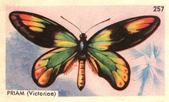 papillon 013