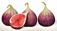 turkish figs (Robin MacLean Illustration) Tags: stilllife food fruit illustration watercolor painting menu oakland design flavor designer drawing label gourmet gouache sardine package packagedesign packagingdesign labeldesign foodillustration packagingillustration packageillustration labelillustration freshsardine grilledsardine