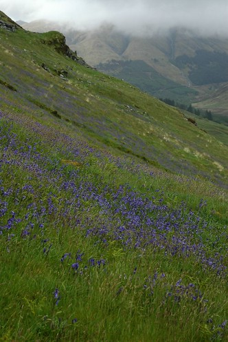 A 'Mountain side' of Bluebells