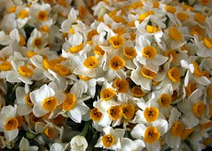 Bunch (Dr. Hendi) Tags: flower day iran farm  narcissus  khuzestan     anoosh behbahan  doctorhendii