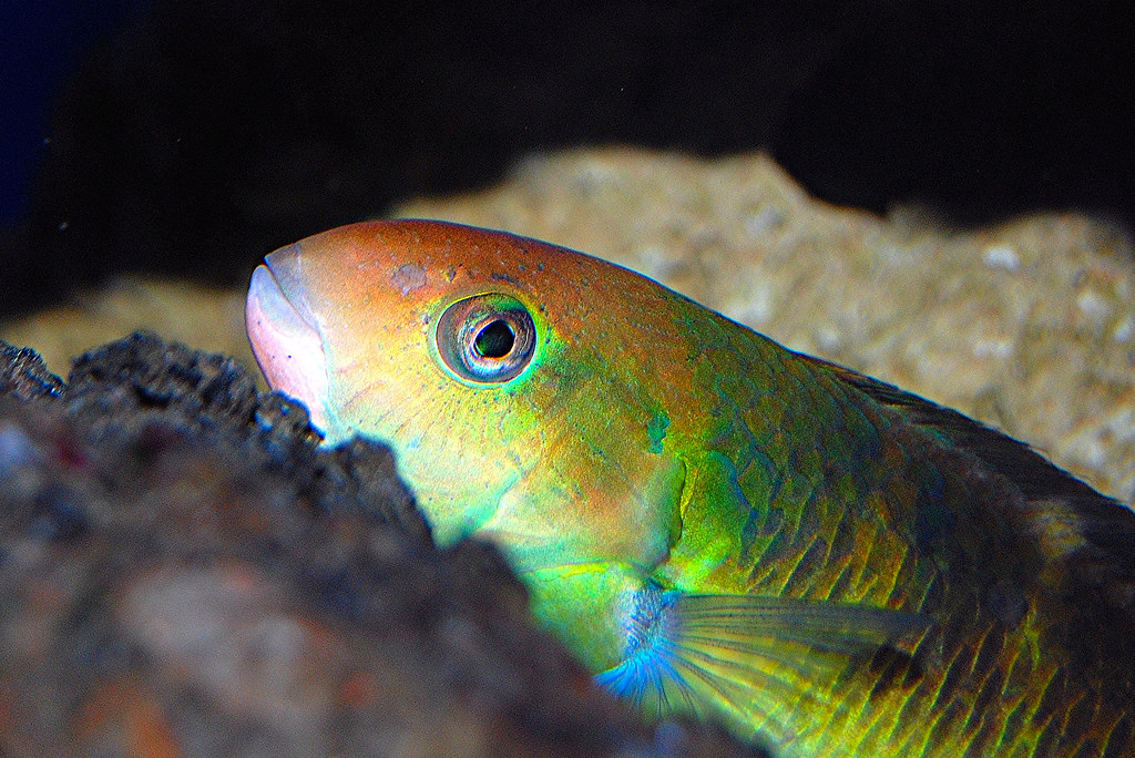 The world 39 s best photos of orange and parrotfish flickr for Yellow rainbow fish