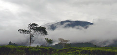 In The Clouds (sektordua) Tags: westjava sukabumi teaplantation halimun mountgede