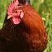 pensive chicken