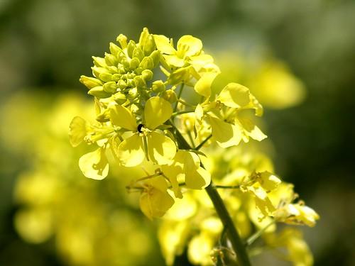 Mostassa borda - Mostaza silvestre (Sinapis arvensis) 5