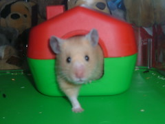 """""""I'm coming dad!"""" - Holly (*Lee-Go*) Tags: pet cute rodent hamster"""