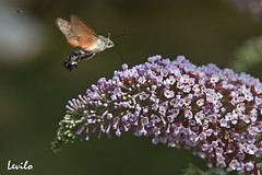 Mariposa colibr (levilo) Tags: butterfly pentax papillon mariposa lepidoptero k10d levilo