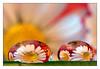two drops (Bruna Zavattiero) Tags: flower primavera drops spring daisy fiori riflessi soe margherita gocce justimagine mywinners theloveshack raggioblu diamondclassphotographer platinumheartaward theperfectphotographer gotasdrops goldstaraward llovemypics waterdropsmacros