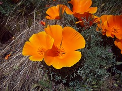 Two Poppies (Megan Meets World) Tags: california flowers orange golden poppy