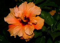Hibiscus (unintelligiBill) Tags: macro canon flora hibiscus blueribbonwinner canonef50mmf18ii flickrsbest explore260 mywinners canoneosrebelxti platinumphoto irresistiblebeauty diamondclassphotographer centralfla unintelligibill macromarvels