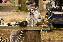 But Mummy Told Me Not To Play With Power Tools (Anton Jenkins) Tags: lemur monkeyworld drill powertool ringtailedlemur electricdrill canonef100mmf28macro