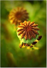 sundance poppies (tadelloeser ) Tags: macro poppy blueribbon naturesfinest awesomeshot awardwinner d80 flickrsbest mywinners abigfave platinumphoto anawesomeshot ithinkthisisart citrit excellentphotographersaward tadelloeser goldstaraward