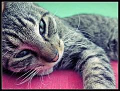 Mi Niño con Ojitos de Japones (MaPeV) Tags: morris bellolindoguapetón gatos cats chats kawaii felin neko gatti gattini gattoni tabby chat katze gato kitty tabbyspoted powershot canon g16