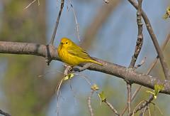 Yellow Warbler (michaelmatusinec) Tags: wi yellowwarbler digitalcameraclub horiconmarsh canoneos40d spring2009 thewonderfulworldofbirds hwy49nearwaupun