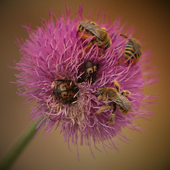 Texas thistle and some bees and some beetles