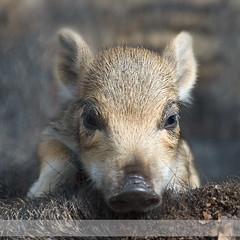 Haasje over (Stapfoto) Tags: wild zwijn