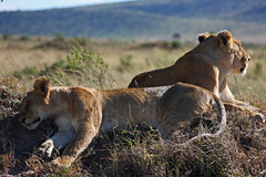 Lionesses (whistler1984) Tags: africa cats cute furry kenya lion pride safari cuddly lions rest savannah plains predator lioness bigcats mane hunters masaimara apexpredator lionkinglionslionesscatsbigcatsmaneapexpredatorpredatorsavannahplainsmasaimarahunterspriderestcutecuddlyfurrysafarikenyaafricalionking