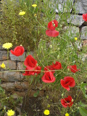 Poppies at Mystraki (Gregelope) Tags: flowers nature beautiful spring textures greece tranquil ellada serenitynow pelopponese flowerpicturesnolimits europeonflickr