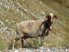 Pecora (crokketta77) Tags: nature animal animals fauna sheep natura animali pecore pecora crokketta77
