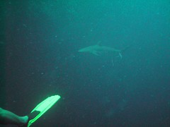 PICT0051 (JoseQ) Tags: blue mar hole great tiburones buceo caribe submarinismo tiburón