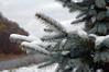 Catskills: Pine Trees Hold Snow