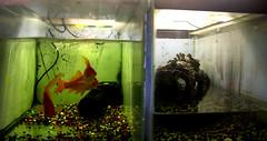 Terrapins & Goldfish