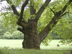 Gammelt tr (birding.dk) Tags: tyskland mritznationalpark udland 21052003 speckpark
