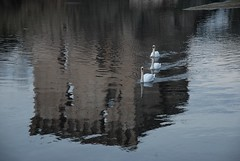 Cigni e riflesso / Swans and reflection
