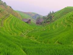 Longji Rice Terraces (craigkass) Tags: china guilin yangshuo guangxi longji abigfave ilovemypic earthasia life~asiseeit lpgreen ctrippic