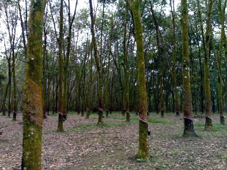 Semenyih Rubber Estate Scenery 1-4