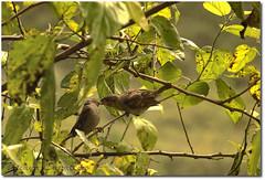 Se... (.Tatiana.) Tags: friends bird ave d200 pardal paranapiacaba johanes amoreira 25f fotoclube 10faves duetos johanesduarte comoassimnew achoqueérsrs siteparavendadefotos httpwwwplanobfotodesigncom fototatianasapateiro