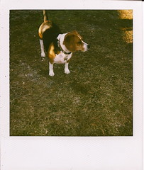 Beagle Polaroid