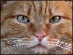 Bel musetto (•:• panti •:•) Tags: rosso gatto picnik micio
