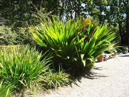 Doryanthes palmeri
