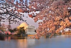 Cherry Blossoms at the Jefferson memorial (Michael Foley Photography) Tags: season japanese spring cherryblossom tidalbasin jeffersonmemorail platinumphoto superbmasterpiece